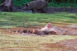 Varkens in de modderpoel van boer Boeijink uit Ruurlo.