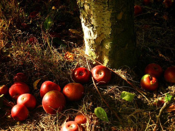 Appels onder boom fruit appelboom